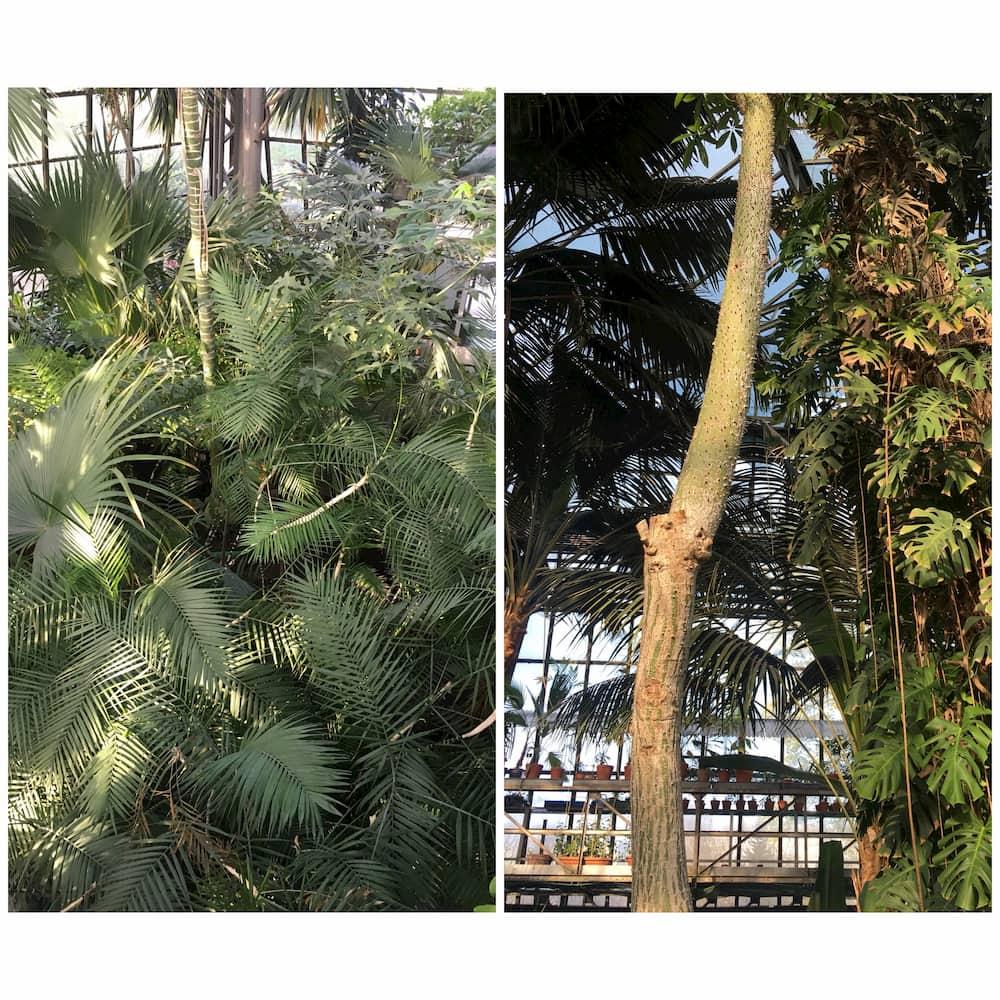 liany na palmie
